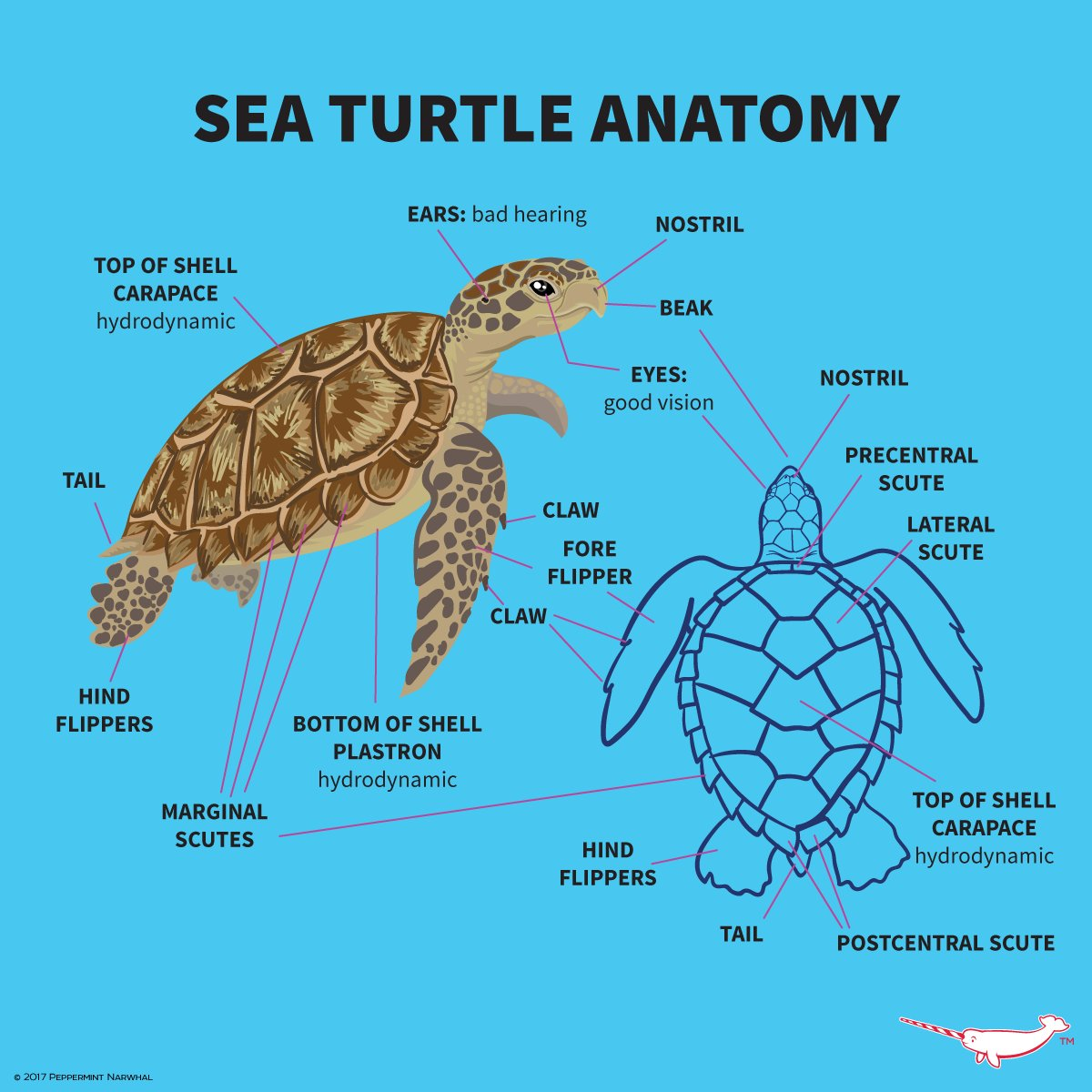 Anatomy of sea turtles