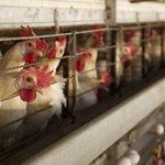 Malaysia free of bird flu virus