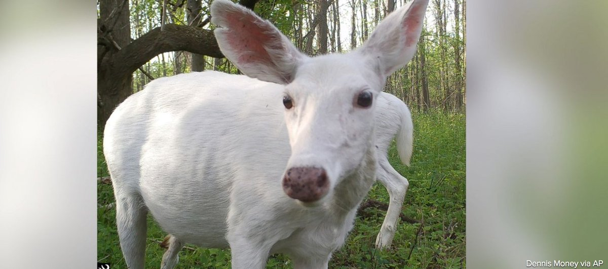 Dozens of rare white deer available for public viewing in upstate New York.