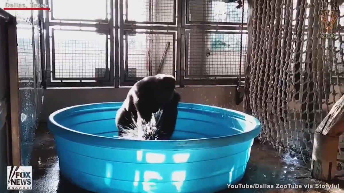 Dance like nobody's watching... Zola, a gorilla at the Dallas Zoo, was caught doing just that!