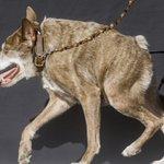 World's Ugliest Dog Contest awards underdogs' inner beauty