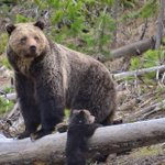 Yellowstone's grizzly bears lose endangered species protection after 42 years