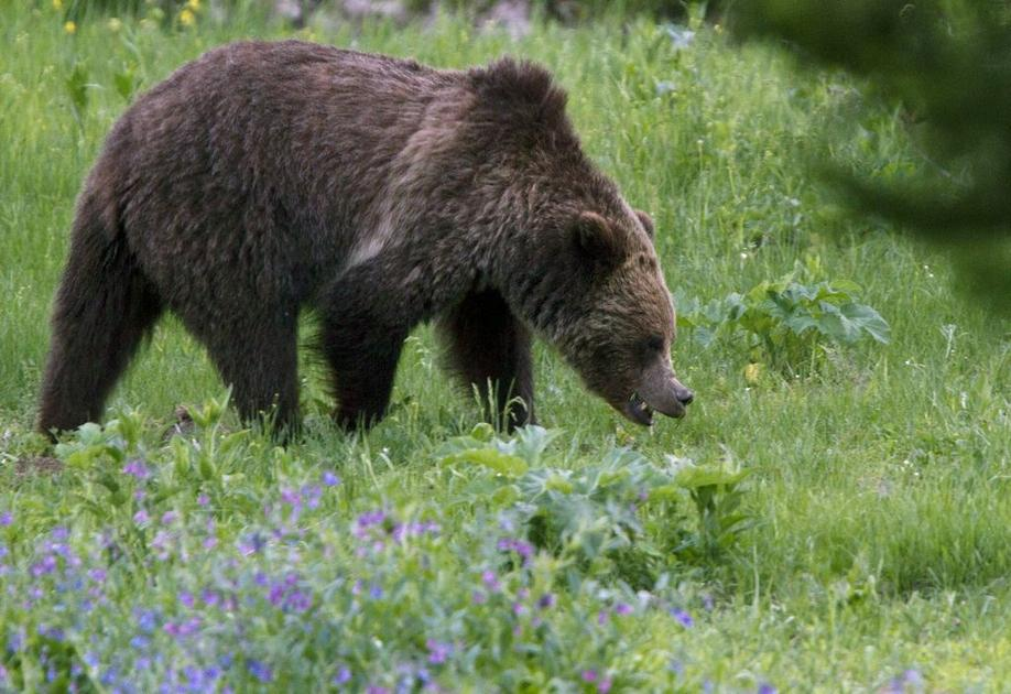 U.S. officials to lift Yellowstone grizzly bear protections