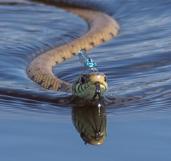 My shot of a grass snake with a damsel fly on head #photography #canon #sigma #wow #wildlifephotography #snakes https://t.co/0fyHbKQk0Q