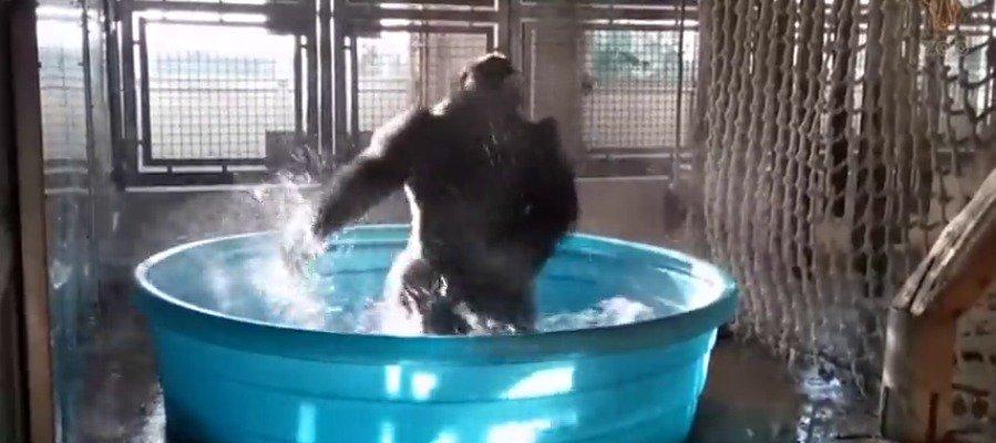 Una gorila de 14 años, nuevo fenómeno viral por su pasión por el baile en el agua ►