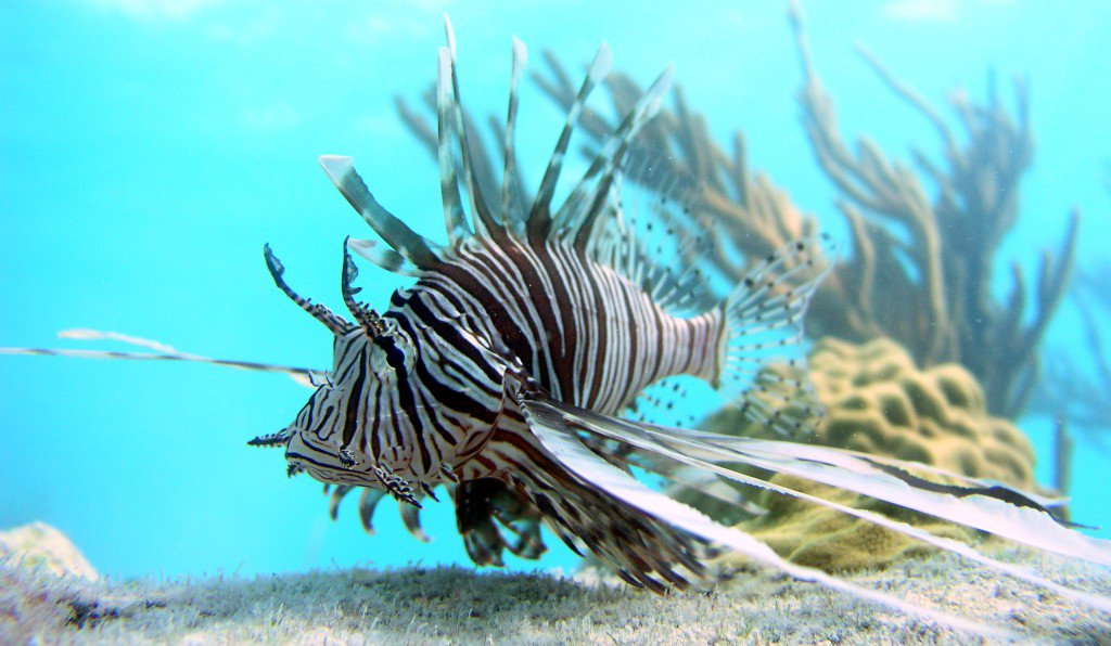 For the first time, researchers capture lionfish talking to each other @NerdyChristie