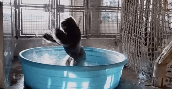 This gorilla pool dancing will make your day