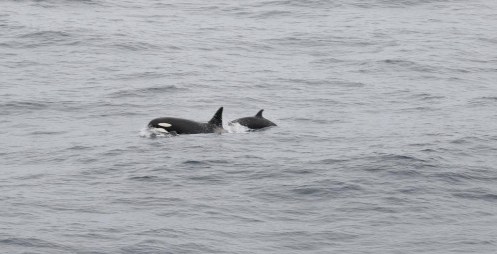 test Twitter Media - Female orca and calf over Porcupine Bank #RVCelticExplorer #WESPAS One other juvenile refused to get in the same shot as the others https://t.co/0WC9D9fevz
