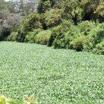 Panic as water hyacinth invades River Chania