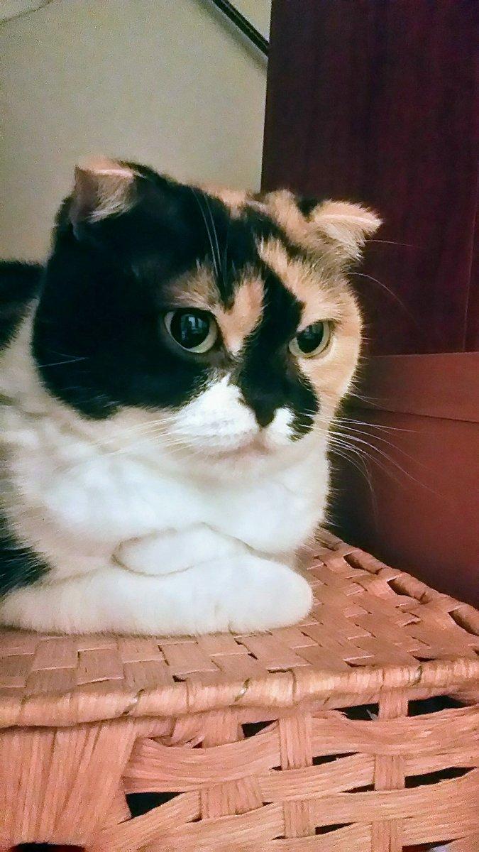 キリッ❗いかがでしょう、この美魔女っぷりは😼#スコティッシュフォールド#猫好きさんと繋がりたい