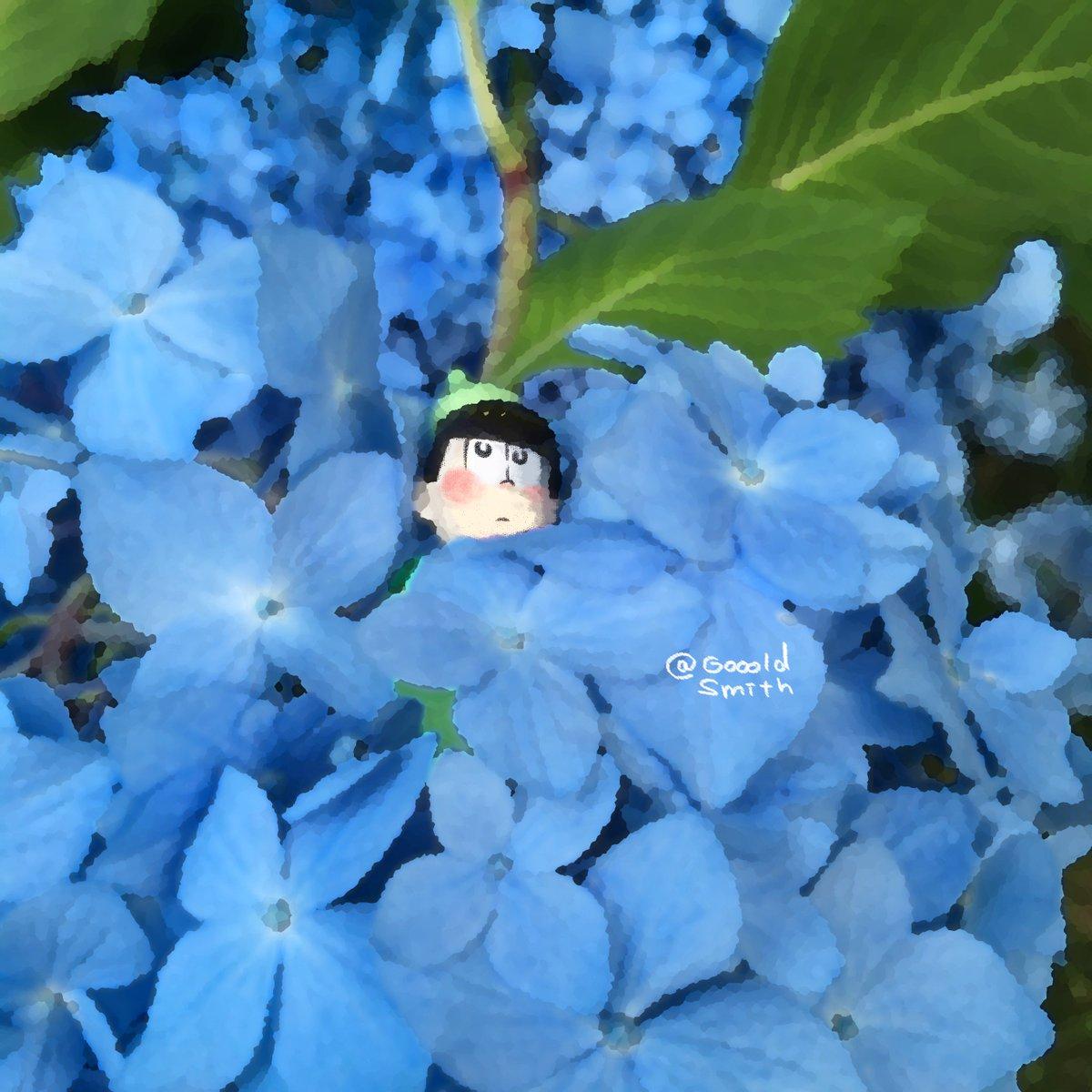 この季節、紫陽花をよく見ると十四松パンという妖精がいる場合がありますので、見つけたら捕まえず、そっとしておきましょう。#