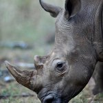 Policeman and another man suspected of rhino poaching arrested in KZN