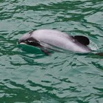 Illegal fishing linked to Hector's dolphin death