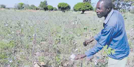 Gloom grows as drought, pests ravage cotton farms