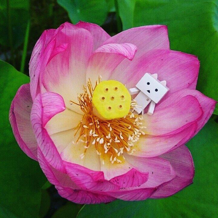 シロニャは妖精だと思う✨#ダンボー#danbo#nyanbo#にゃんぼー#ニャンボー#蓮#花#flower