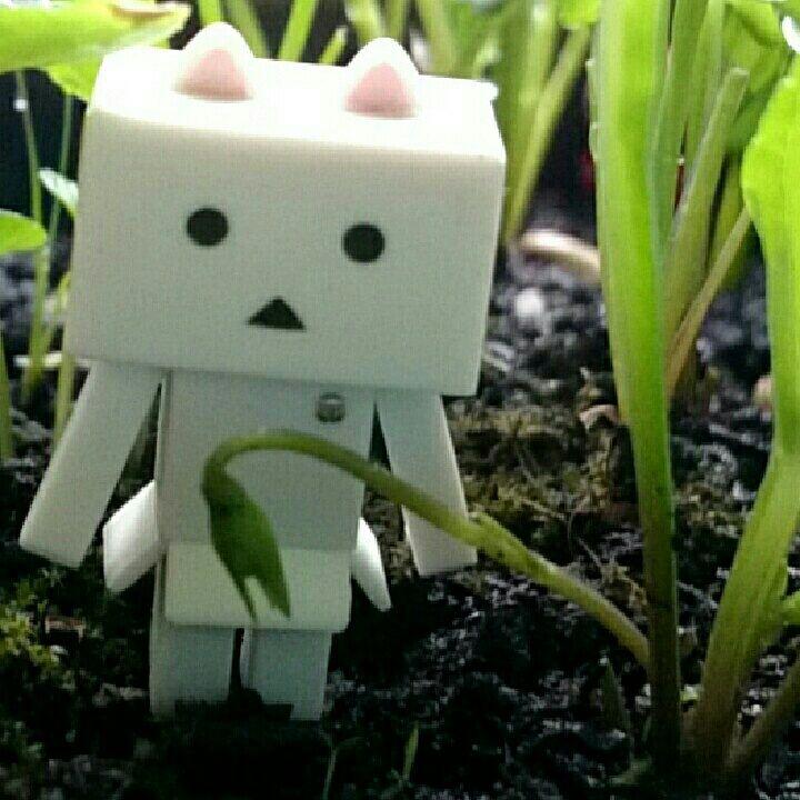 去年採ったスミレの種蕾が出来ました咲くかな~#ダンボー#にゃんぼー#ニャンボー#danbo#nyanbo