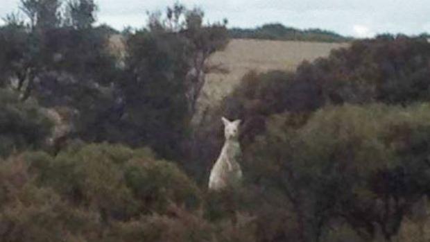 'Blow me down!' WA farmer snaps extremely rare white kangaroo