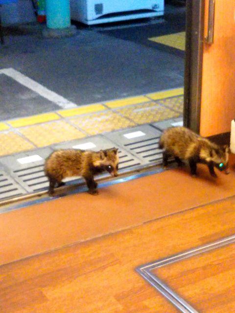 (*´д`*) 叡山電車に子狸やと…んなもん、下鴨矢三郎と矢四郎にきまっとりますやん。この叡山電車を矢二郎の化けたもんか