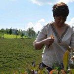 Production of purple tea gains momentum in Kenya