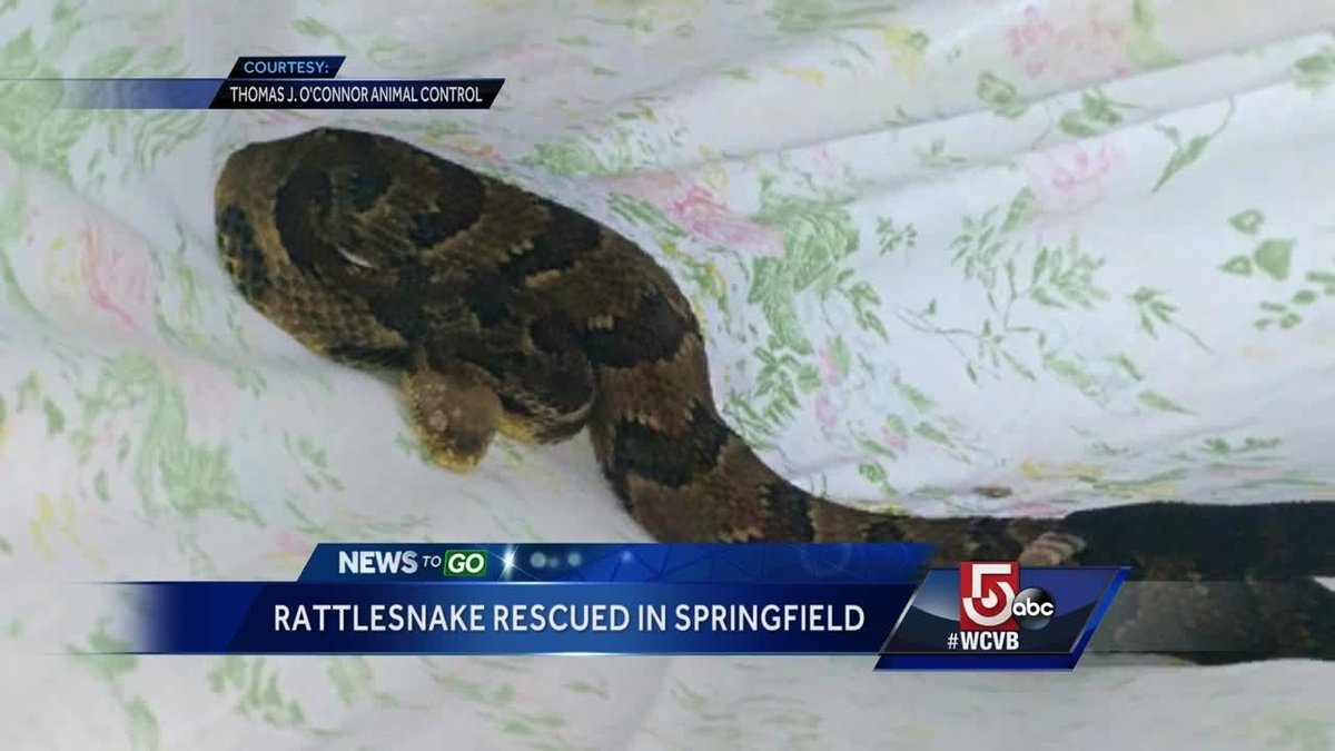 Timber rattlesnake caught lingering near Massachusetts home