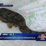 Timber rattlesnake caught lingering near Massachusetts home