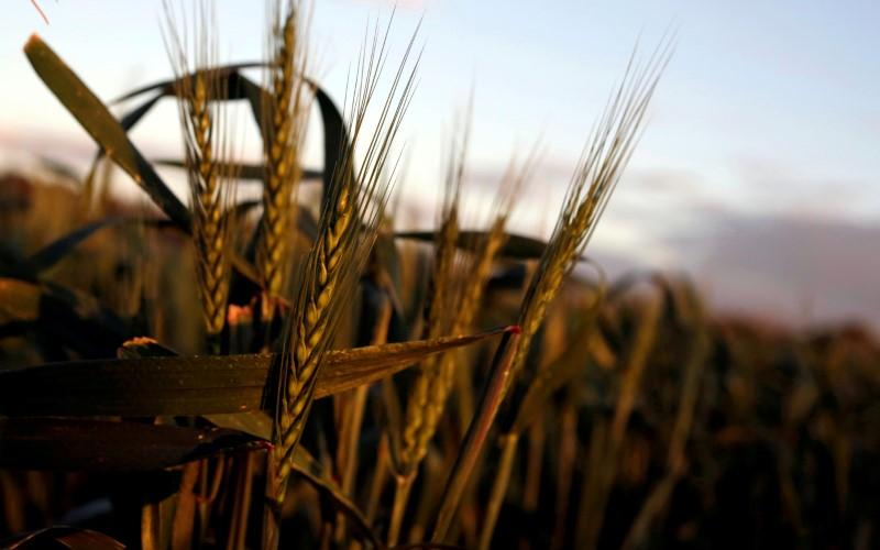 Australia wheat output may miss forecast by 20 percent due to dry weather