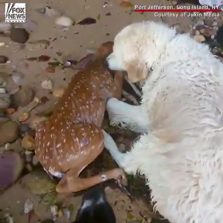 INCREDIBLE: A dog jumped into the Long Island Sound to rescue a young deer. https://t.co/1iibeavLqH https://t.co/WwZDfJI2Fr