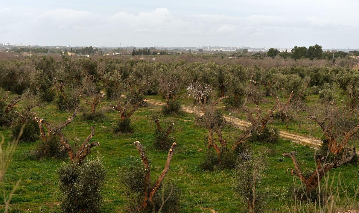 Half the world's olive oil is now threatened by a deadly bacteria killing trees in Spain