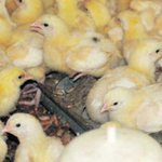 Common mistakes every poultry farmer must avoid