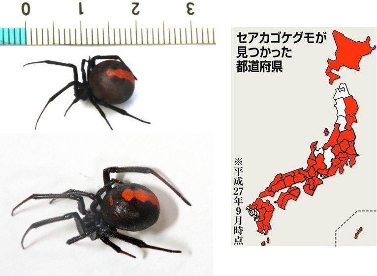 test ツイッターメディア - セアカゴケグモ、41都道府県で確認 22年前に大阪で初の発見 ヒアリと同じく強い繁殖力https://t.co/zaaKLCF9t1 https://t.co/WocadIiUOC
