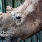 Black rhinos of Botswana and Namibia: Can hunters save them?