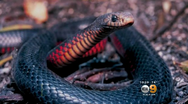 Dozens of alligators and venomous snakes found in California home