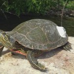 Summer rain leads to spike in turtle deaths in Ontario