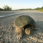Summer rains causing spike in turtle deaths, conservation group says
