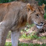 UPDATE: Escaped Kruger lions 'in rocky Crocodile gorge'