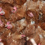 Dutch poultry farmers set to visit Uganda in October