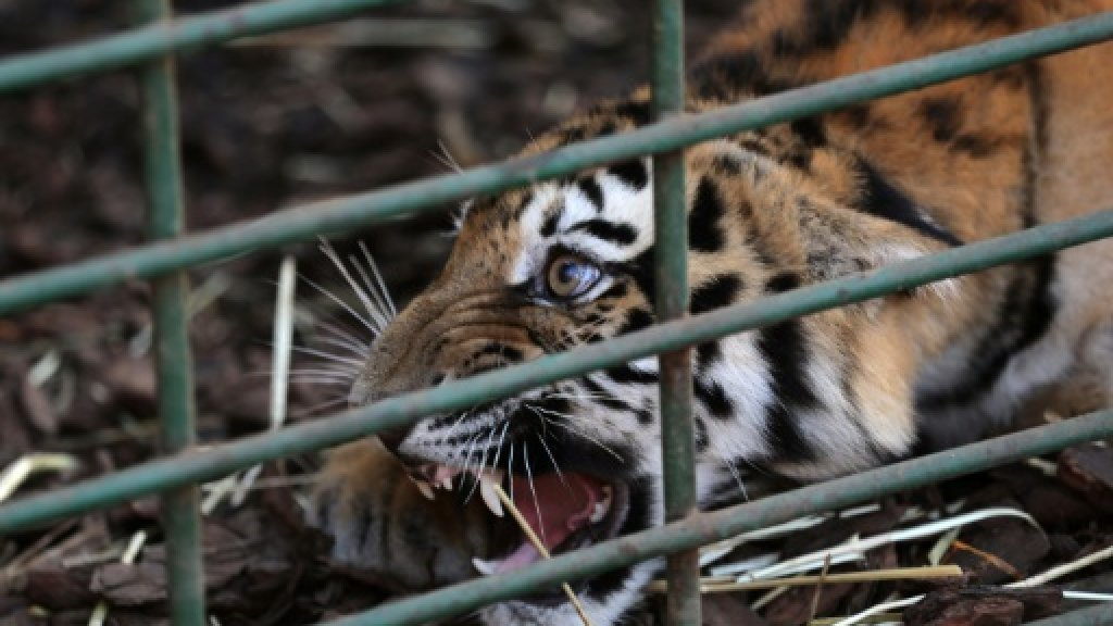 3 tigers resettled in France after Lebanon rescue