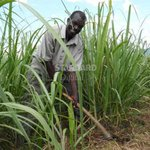 Farmers reap big as sugarcane prices cross the Sh4,000 mark