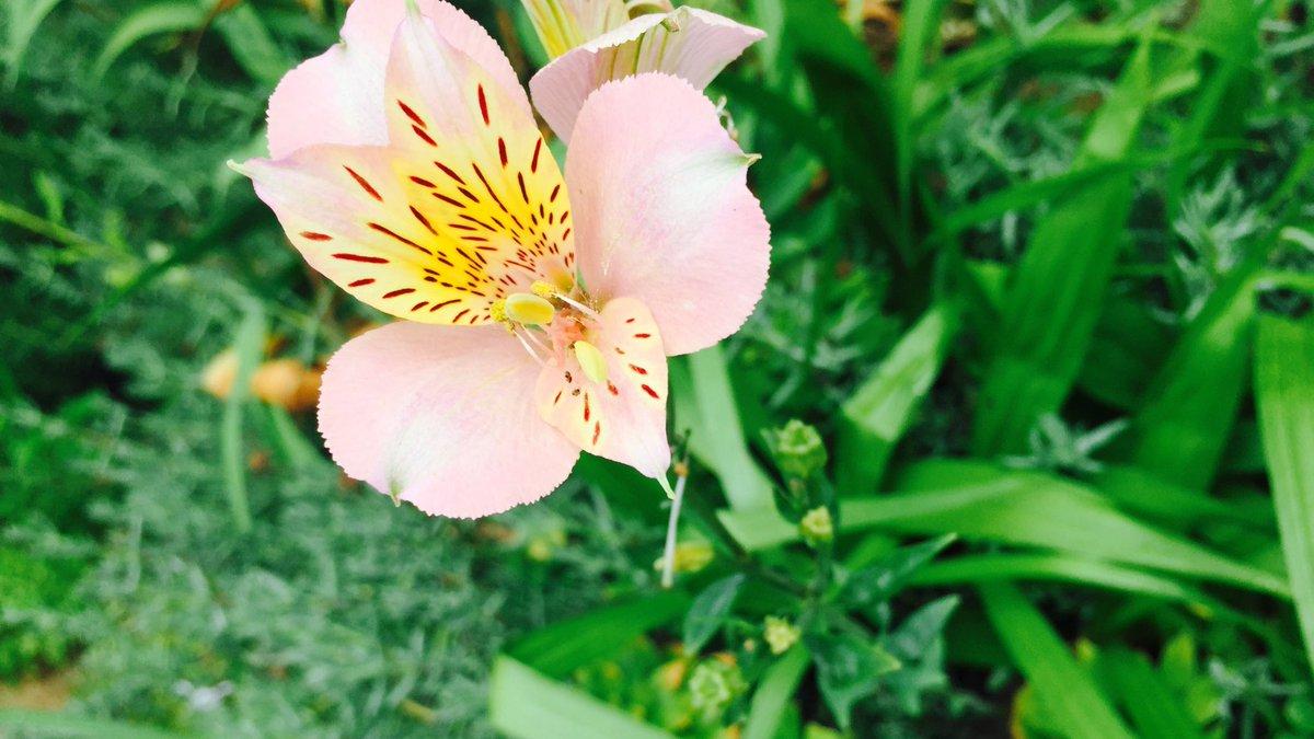 ゆりっぽいけど、なんのお花なんだろう 今度聞いてみよう https://t.co/EkB59p3ZkQ