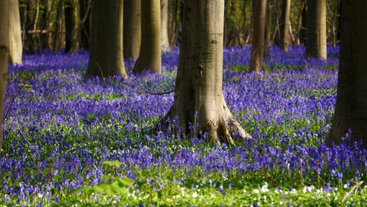 الغابة الزرقاء #بلجيكا