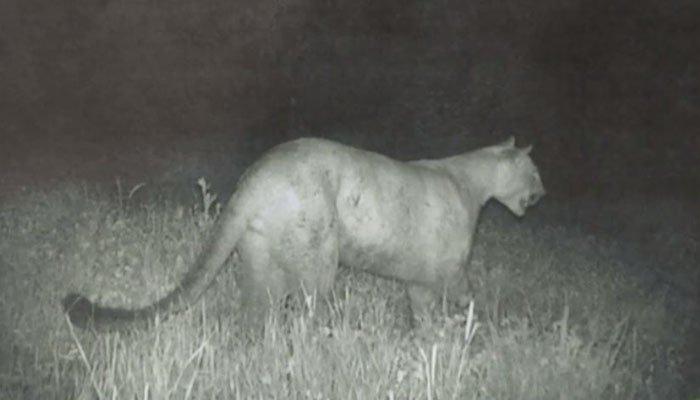 Mountain lion crashes through window onto sleeping woman's bed - | WBTV Charlotte