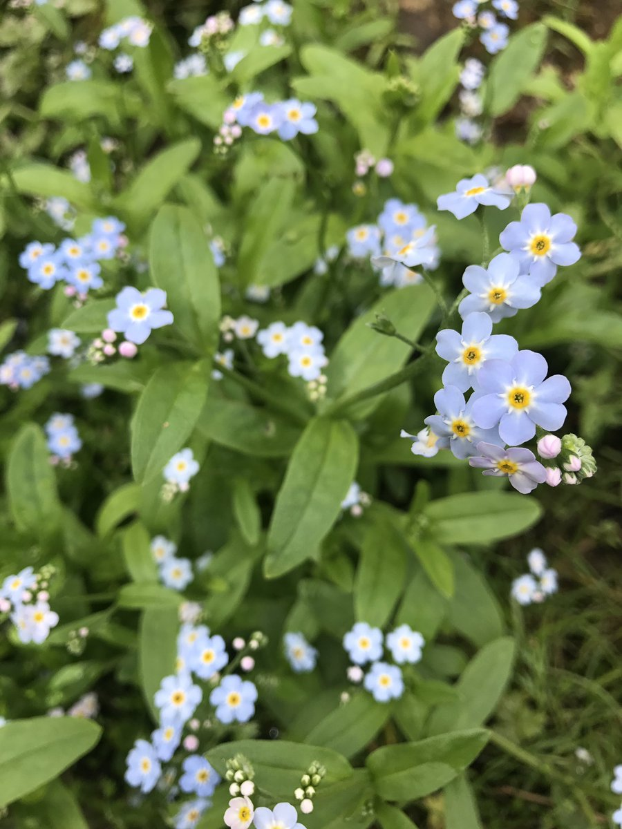 Forget me Nots flowering by my Stream Today  ???? https://t.co/WeAYnbzmMb