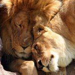 Three Kruger National Park escaped lions shot dead