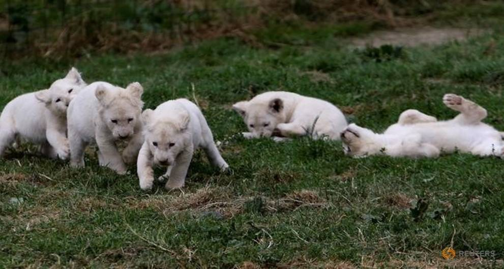 Czech zoo roars over birth of white lion quintuplets
