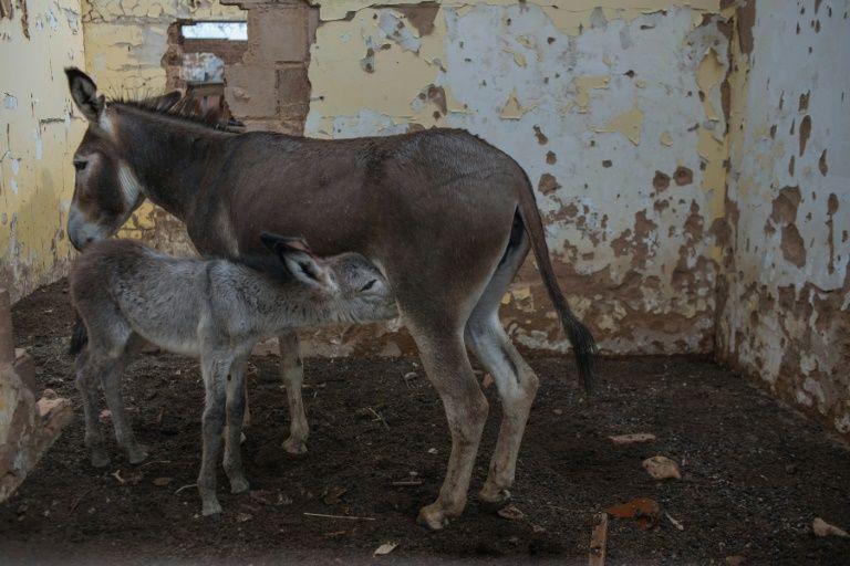 Chinese man arrested in Botswana over donkey skin trade