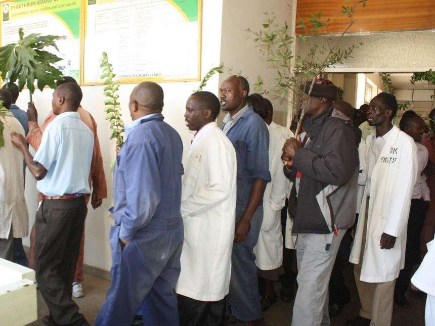 Court reinstates 87 suspended pyrethrum factory workers