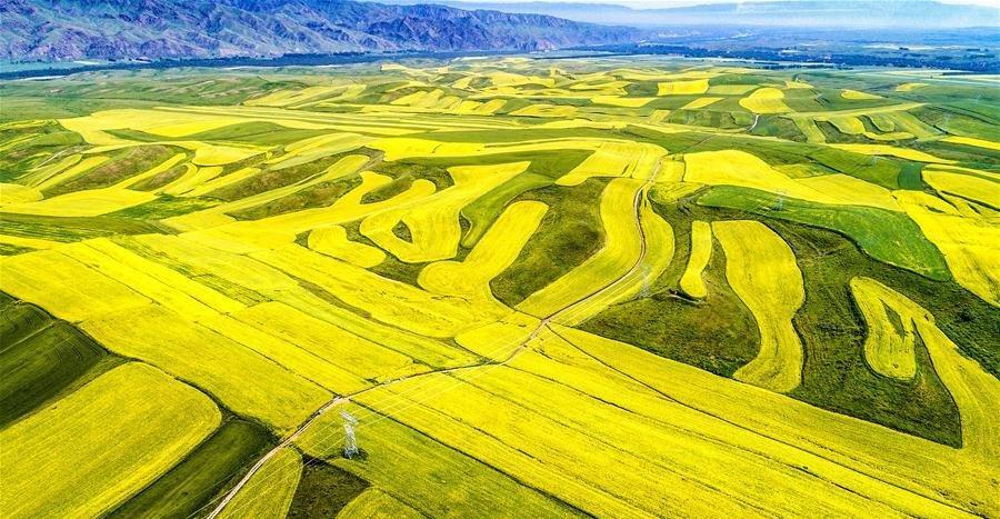 الكانولا بمنطقة #شينجيانغ الويغورية #الصين