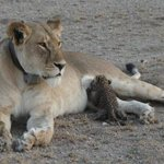 Wild lioness photographed nursing leopard cub in Tanzania