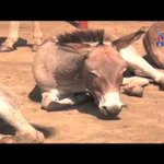 Donkey meat processors sound the alarm over extinction
