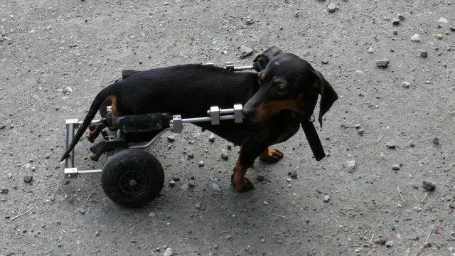 Maravilhoso! Eletricista já fabricou mais de 2.400 cadeiras de rodas para cães
